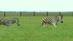 Four zebras pass in front of the camera Stock Footage