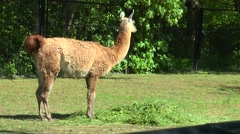 Lama guanaco walks in the paddock Stock Footage