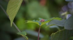 Mating beetles on the foliage Stock Footage