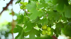 Ripening fruits of black currant berries Stock Footage
