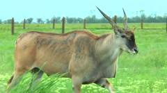 Eland grazing in the steppe of guano on the grass Stock Footage