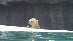 4k, Polar bear go out of the water for eat fish in the zoo-Dan Stock Footage