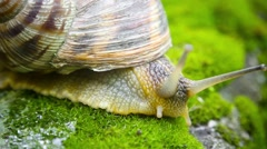 slowly crawling snail on the moss - stock footage