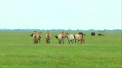 Przewalski horses grazing in the desert in the spring grass Stock Footage