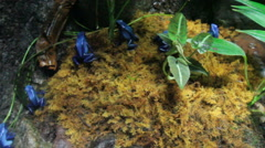 Blue dart frogs Stock Footage