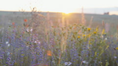 Smooth slow mo tracking shot of blossoming wild lavender field - stock footage