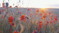 Slow mo dolly style shot of sunset and vibrant blooming poppies Stock Footage