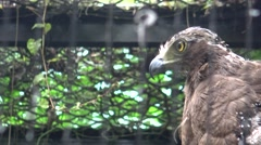 4k, Crested serpent eagle in the zoo. Spilornis cheela -Dan Stock Footage