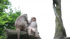 Two Formosan rock macaque sitting on the top the tree grooming at the zoo-Dan Stock Footage