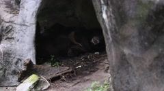 An adult Formosa Black Bear sleeping in the cave at the zoo -Dan Stock Footage