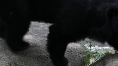 Claws of adult Formosa Black Bear walking on the rock at the zoo-Dan Stock Footage