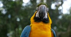 Blue Yellow Macaw in Brazil Stock Footage