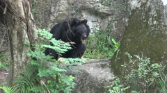 4k An adult Formosa Black Bear sit on the rock in the garden at the zoo-Dan Stock Footage