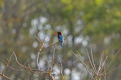 White-Throated Kingfisher in India - stock photo