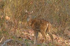 Spotted Deer in the Forest of India Stock Photos