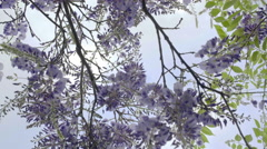 Purple Flowers Growing On Tree Stock Footage