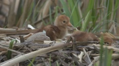 Common Crane with hatchlings Stock Footage