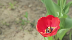 Red tulip in the garden with green natural background Stock Footage