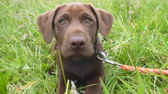 Cute Little Chocolate Lab Playing Stock Footage