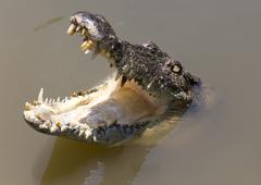 crocodile open mouth in water - stock photo