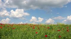 Poppies flower meadow landcsape Stock Footage