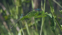 Mating dragonflies. fly, sitting on a leaf ,and fly away, Slow Motion Stock Footage