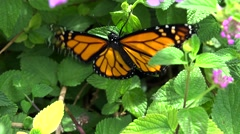 Monarch butterfly (Danaus plexippus). Bermuda Stock Footage