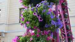 Petunia flowers in a pot. Stock Footage