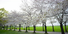 Wide shot of Multiple Cherry Blossom trees Stock Footage