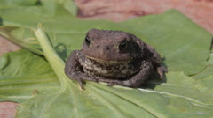 Toad on Green Leaf of Plant Stock Footage