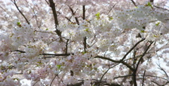Cherry Blossom branches captured at a low angle - stock footage
