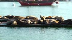 Sea Lions - stock footage