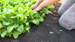 Gardener and radish in garden bed - stock footage