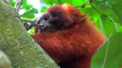 Wild Golden lion tamarin (Leontopithecus rosalia) eats lizard. Stock Footage