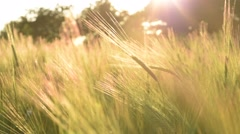 Crop of wheat in the late evening sun light Stock Footage