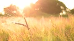Corn Field at sunset Stock Footage