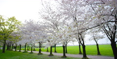 Cherry Blossom tree branch captured with camera movement left - stock footage