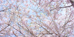 Low angle camera pan right of Cherry Blossom tree Stock Footage
