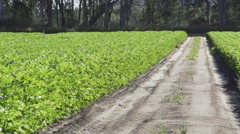 A pan of a ready to be harvested crop of farm fresh celery on an Australian farm Stock Footage