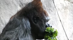 Headshot of  silverback gorilla Stock Footage