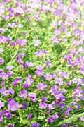 Vertical floral background with small violet Aubrieta flowers - stock photo