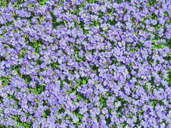 Aubrieta tiny blue summer flowers background - stock photo