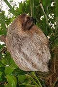 Bradypus variegatus three-toed sloth wild animal Stock Photos