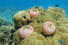 Cluster of sea anemones Heteractis magnifica Stock Photos