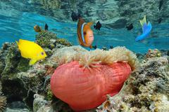 Colorful tropical fish with a sea anemone Pacific - stock photo