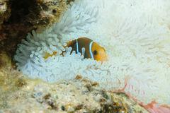 Fish anemonefish hiding in anemone tentacles Stock Photos