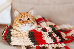 Cute curious ginger cat sleeps in striped knitted scarf. Fluffy pet is dozing Stock Photos