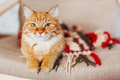 Cute curious ginger cat sleeps in striped knitted scarf. Fluffy pet is dozing - stock photo