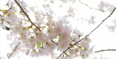Low angle shot of Cherry Blossom tree with sun piercing through leaves - stock footage