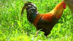 4K pan shot of a cock walking in the grass Stock Footage